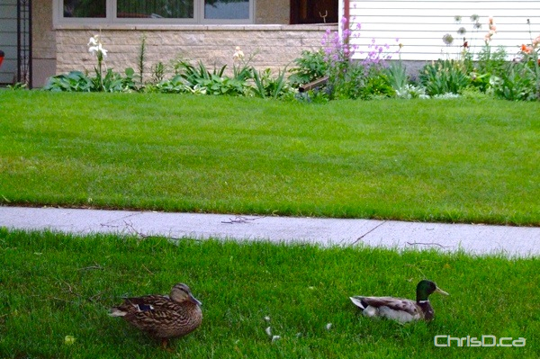 Ducks - Rain