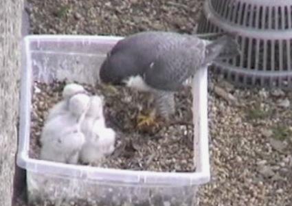 Falcon Cam - June 4 2009