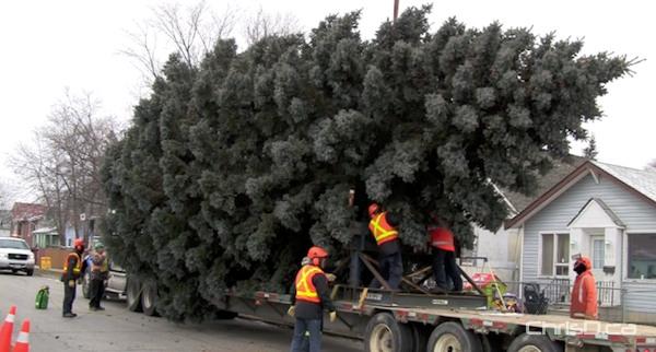 Colorado Spruce Coming Down for City Hall Christmas Tree | ChrisD.ca