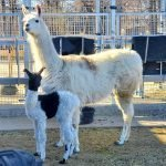Winnipeg Zoo Turns to Public to Name Baby Llamas